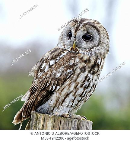 An adult Tawny Owl (Strix aluco) on a perch