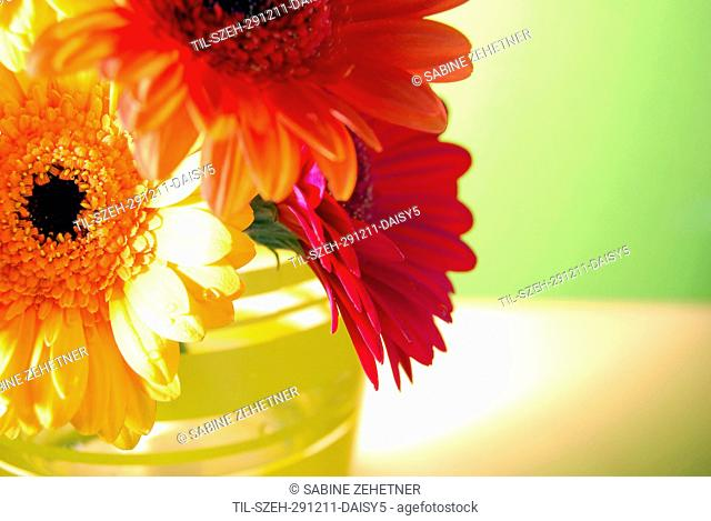 Close up of three gerbera daisies in vase against soft green background