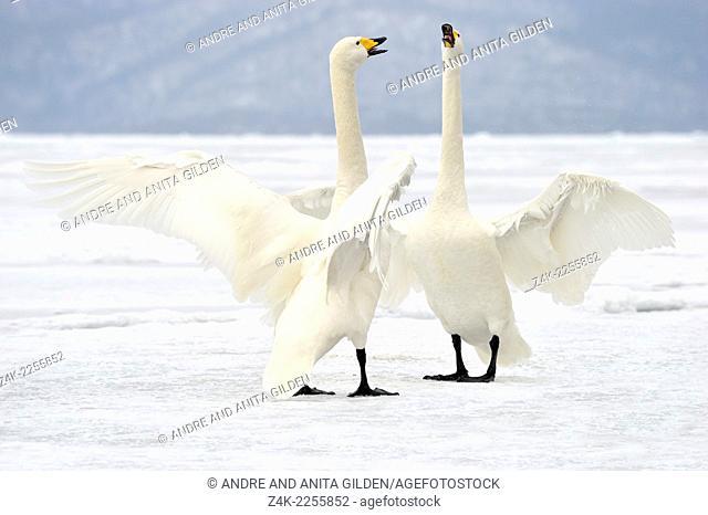 Whooper Swan (Cygnus cygnus) pair standing on frozen Lake, displaying in courtship