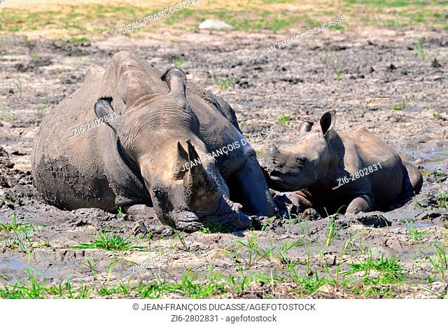 White rhinoceroses or Square-lipped rhinoceroses (Ceratotherium simum), mother with calf, wallowing in the mud, Kruger National Park, South Africa, Africa