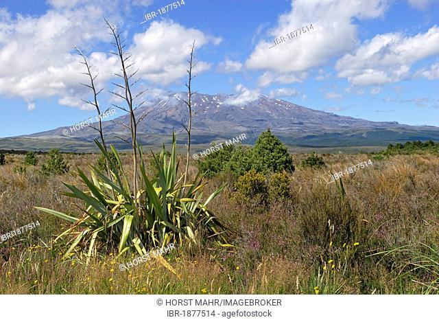 View of Mount Ruapehu as seen from State Highway 47, Mountain Flax (Phormium cookianum) in the foreground, Tongariro National Park, North Island, New Zealand