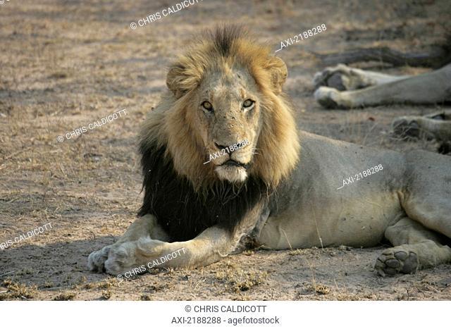 LION IN KRUGER PARK SOUTH AFRICA