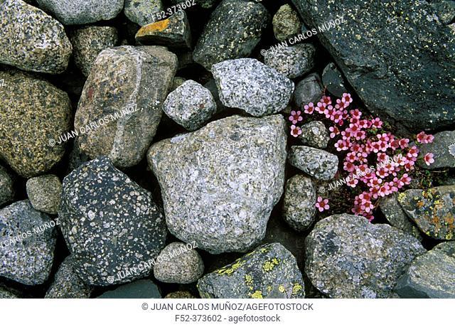 Moss Campion (Silene acaulis). Skalafells. Iceland