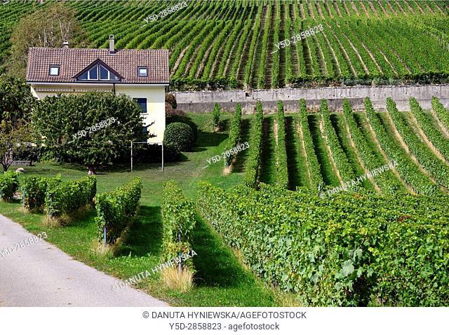 Europe, Switzerland, Canton Vaud, La Côte, Morges district, Féchy vineyards