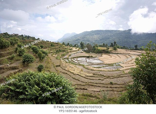 Terraced rice field near Dhampus Village - Pokhara Valley, Nepal - Dhampus Village, Gandaki Zone, Nepal