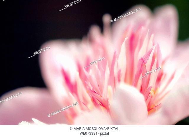Pink Peony. Paeonia lactiflora. May 2007, Maryland, USA
