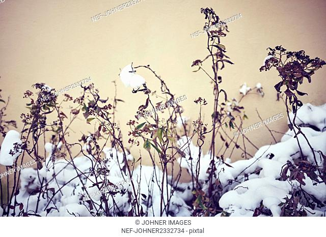 Dried plants at winter