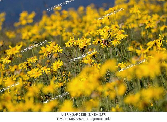 France, Haut Rhi , Hautes Vosges, meadow, flower, Arnica montana, butterfly, Aglais urticae