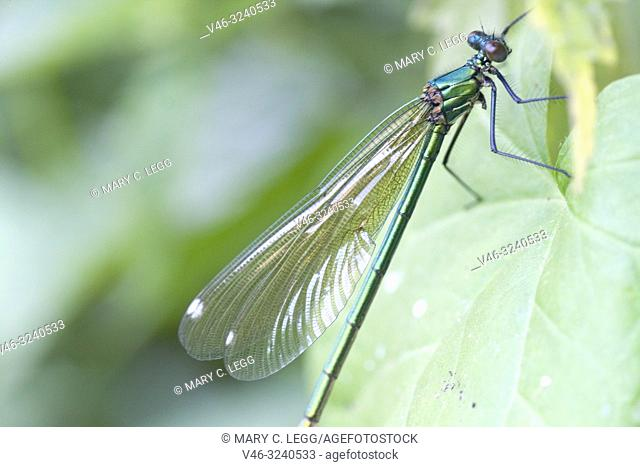 Female Banded Demoiselle, Calopteryx splendens. Showy metallic blue damselfly that inhabits slow moving rivers, streams. Females are metallic green