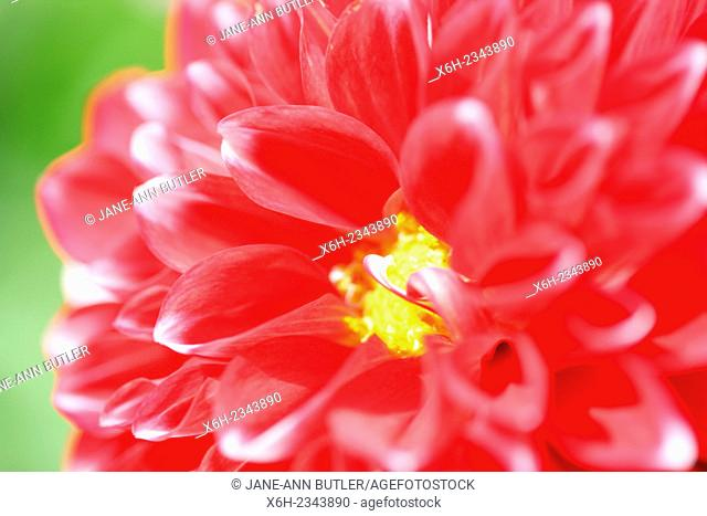 open red dahlia sun-kissed in Summer...floral language symbolises dignity and gratitude