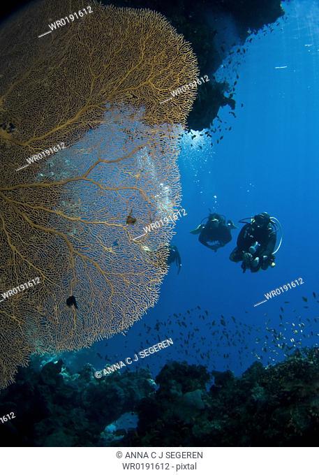 Divers observing a Giant sea fan Annella mollis Shark Observatory, Ras Mohamed National Park, Sharm El Sheikh, South Sinai, Red Sea Egypt
