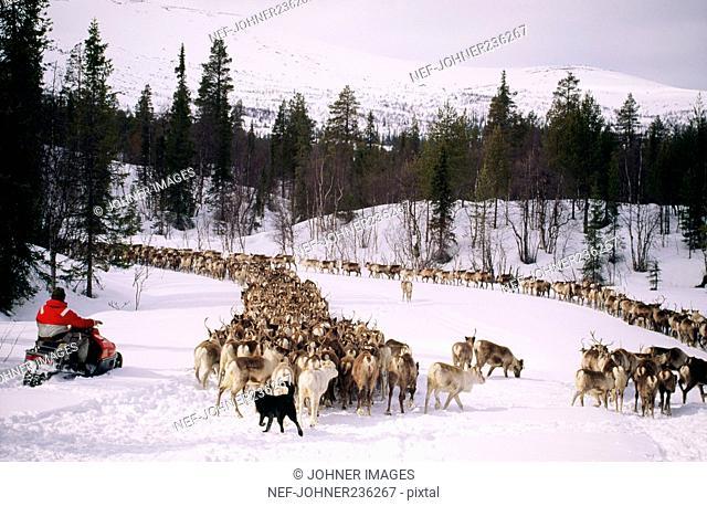 Man on snowmobile by herd of reindeer, rear view