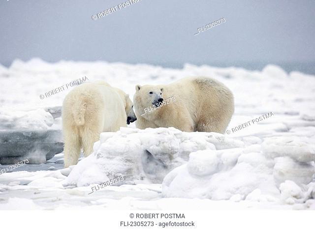 Polar Bears Standing On The Ice On Hudson's Bay;Churchill Manitoba Canada