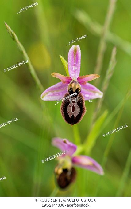 Ophrys orchid flowers in Spring over a green grass background, Montseny, Spain