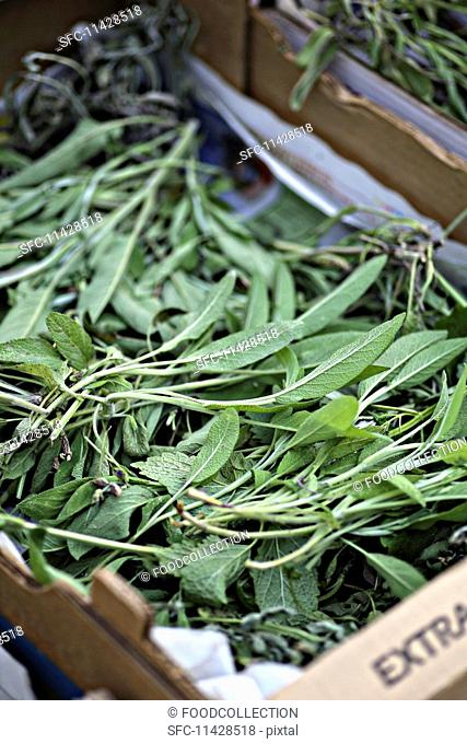 Freshly harvested sage for drying