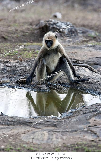 India, Karnataka, Rajiv Gandhi National Park, Gray Langur monkeys, Semnopithecus entellus