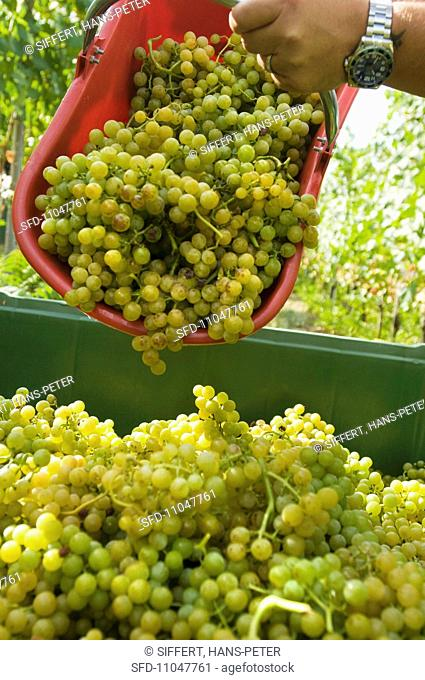 Yellow Muskateller grapes being harvested