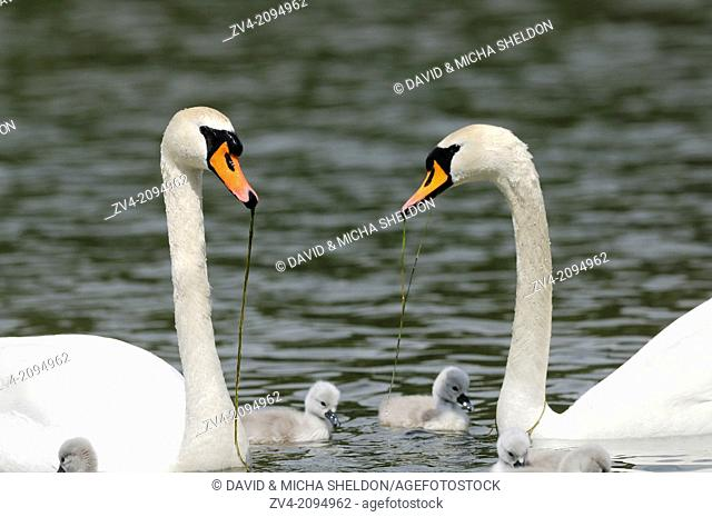 Close-up of Mute Swan (Cygnus olor) parents with their youngsters
