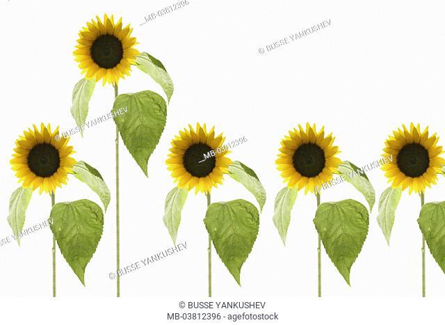 Sunflowers, Helianthus spec.,  Row,  [M] Series, plants, flowers, inflorescences, composites, ornamental plants, useful plants, blooms, petals, yellow