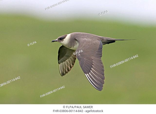 Arctic Skua (Stercorarius parasiticus) pale phase, adult, in flight, Noss, Shetland Islands, Scotland, June