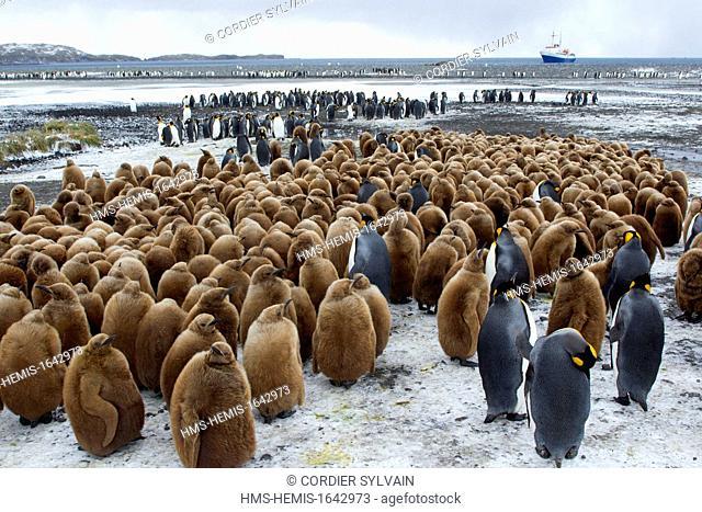 Antarctic, South Georgia Island, Salysbury plains, King Penguin (Aptenodytes patagonicus), yougs in brown and adults
