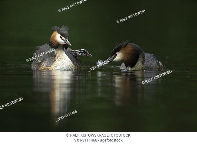 A pair / family of Great Crested Grebe / Haubentaucher (Podiceps cristatus) feeding its juveniles / chicks with feathers