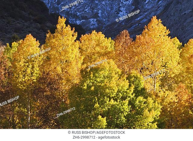 Golden fall aspens along Rush Creek, Inyo National Forest, Sierra Nevada Mountains, California USA