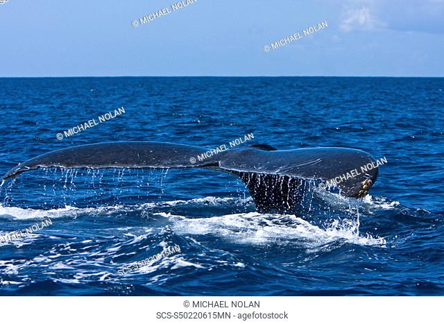 An adult humpback whale Megaptera novaeangliae fluke-up dive in the AuAu Channel between the islands of Maui and Lanai, Hawaii