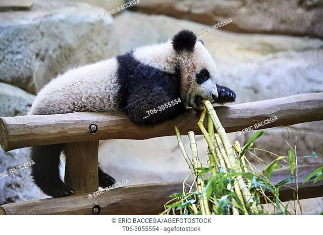 Playfull giant Panda cub (Ailuropoda melanoleuca). Yuan Meng, first giant panda even born in France, is now 8 months old