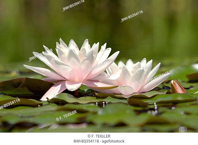 water lily, pond lily (Nymphaea spec.), two flowers