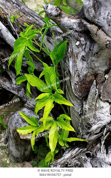 Leaves growing out of old tree bark, Camagüey, Cuba