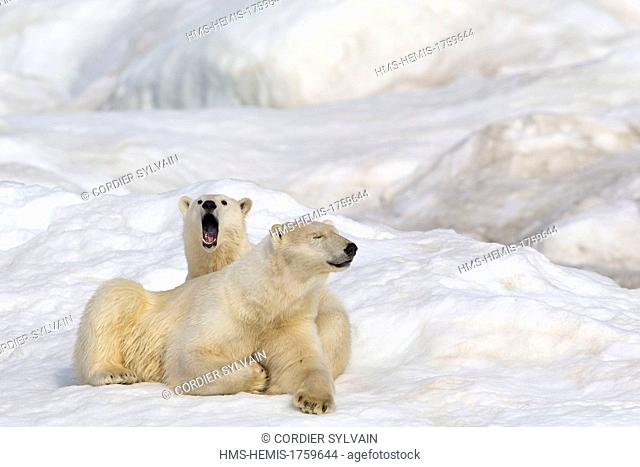 Russia, Chukotka autonomous district, Wrangel island, Polar bear (Ursus maritimus), Adult, female with young, one year and a half
