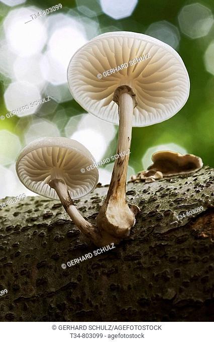 Porcelain Mushroom, Oudemansiella mucida. Schleswig-Holstein, Germany