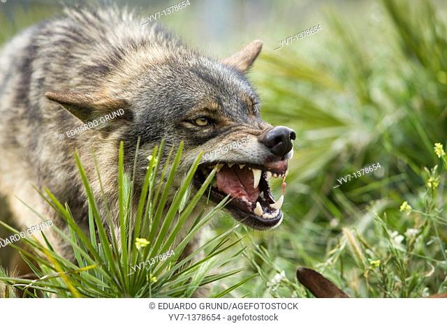 A wolf with an expression of aggression to other components of the pack for food dispute  Wolf park, Antequera, Malaga, Andalusia, Spain