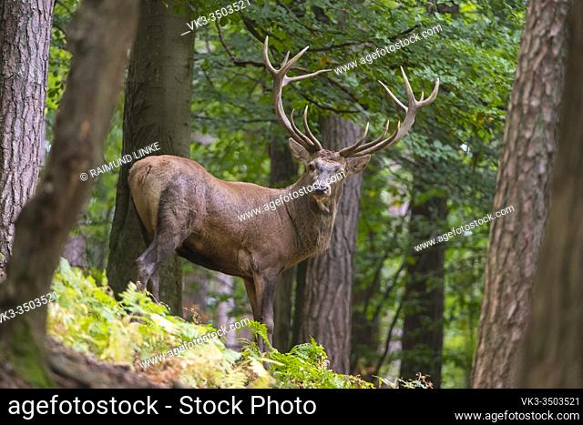Red Deer, Cervus elaphus, Rutting Season