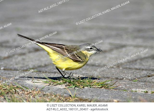 Yellow Wagtail feeding on the ground