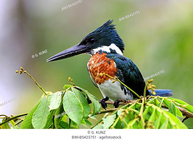 ringed kingfisher (Megaceryle torquata), male sits on a twig, Costa Rica