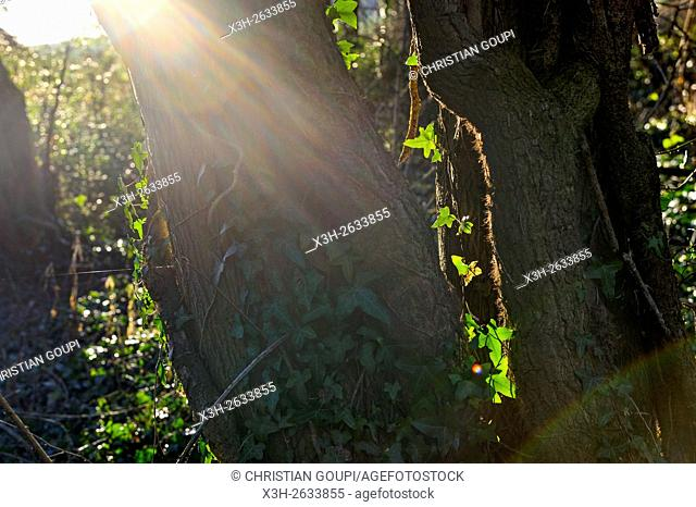 ivy growing on tree trunks, Eure-et-Loir department, Centre region, France, Europe