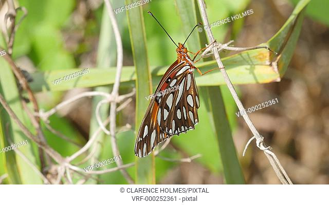 A Gulf Fritillary (Agraulis vanillae) butterfly spreads its wings while perching on vegetation near Paurotis Pond in Everglades National Park