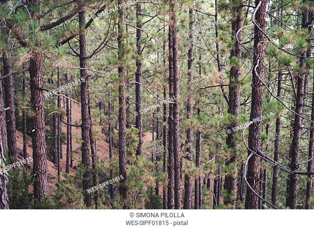 Spain, Tenerife, Corona Forestal Nature Park, Tree trunks