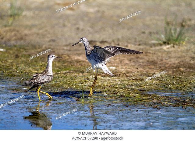 Greater Yellowlegs (Tringa melanoleuca) Territorial behavior, chasing away rival. Strathmore, Alberta, Canada