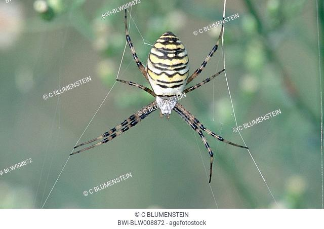 black-and-yellow argiope, black-and-yellow garden spider Argiope bruennichi, Sep 97