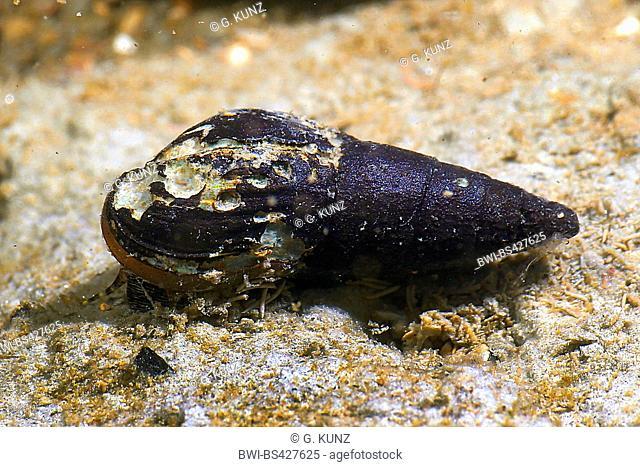 freshwater snail (cf. Esperiana daudebartii), Romania, Danube Delta