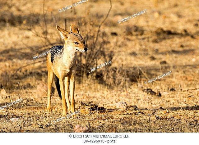 Black-backed jackal (Canis mesomelas), Samburu National Reserve, Kenya