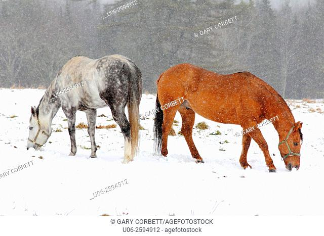 Two horses in a field with snow covering in winter