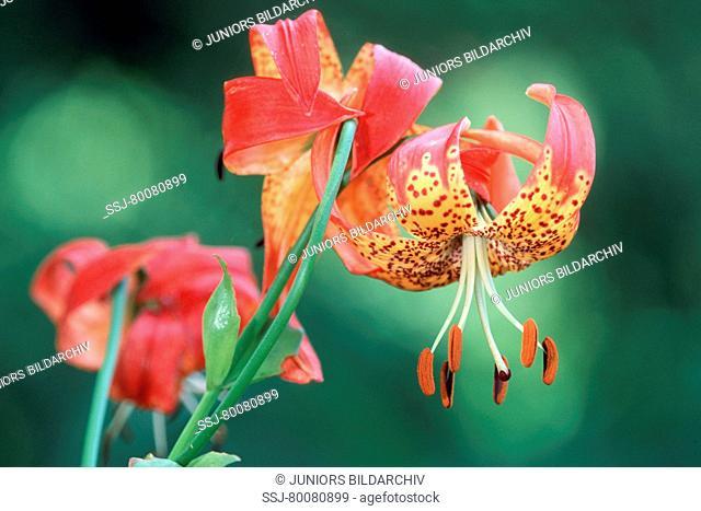 DEU, 2002: Turks Cap Lily (Lilium harrisianum), flowers