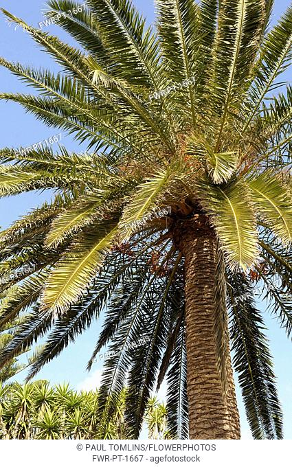 Palm, Date Palm, Phoenix canariensis, Detail of tree against clear blue sky.-