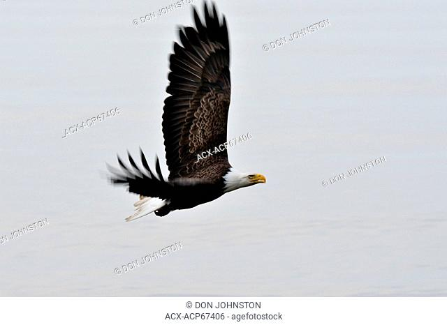 Bald eagle (Haliaeetus leucocephalus) Adult in flight, Haida Gwaii (Queen Charlotte Islands), British Columbia, Canada