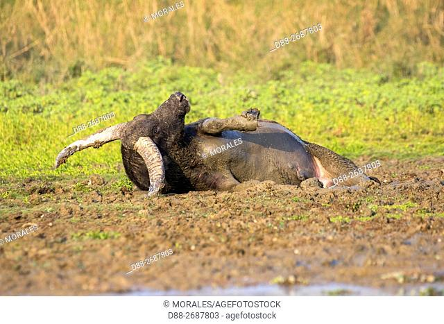 South east Asia, India,Assam state,Brahmapoutra,Water buffalo,wild,adult male in a marsh,rolling in the mud