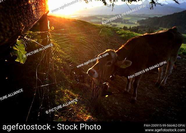 15 September 2020, Bavaria, Pfronten: A cow stands in front of the panorama of the Alps in the sunrise behind a spider's web